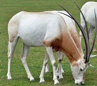 Exotic Meat Market offers Scimitar Oryx Kidney. Scimitar Oryx are harvested in private ranches in the USA. Scimitar Oryx meat is 97% lean. Scimitar Oryx Meat is a more healthful and flavorful alternative to the standard boeuf du jour.