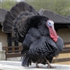 Black Turkey, buy heritage turkey breeds, heritage turkey poults, heritage turkey order, heritage turkey price, heirloom turkey, exotic meat market, heritage turkey hatchery, heritage turkey farm and heritage turkey for Thanksgiving dinner, wild turkey