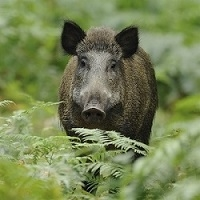 Exotic Meat Market offers USDA inspected fresh and frozen Wild Boar Roaster. Our Wild Boars are captured from the Hilly Ranch, outside of San Antonio, Texas. Being wild they are entirely free-range, with no added hormones, steroids, or antibiotics.