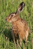 Wild hares can consume up to three times more grass than sheep. Combined with wild herbs and leaves, these wild animals have a subtle gaminess and references to 'tastes like chicken' should be largely ignored.