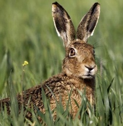 Wild Hare from Scotland - One Dressed Hare 3 Lbs to 4 Lbs.