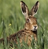 Wild Hare from Scotland - One Dressed Hare 5 Lbs to 6 Lbs.
