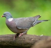 Wild Wood Pigeons are extremely tasty with rich, dark flavorsome meat. The dressed weight is approx. 250g and they come plucked and ready to cook. Our Scottish Wood Pigeons come from selected Scottish estates. Oven ready. Individually wrapped.