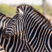 Exotic Meat Market offers Zebra Heart. The heart is rich in folate, iron, zinc, and selenium. It is also a great source of vitamins B2, B6, and B12, all three of which are in a group known as B-complex vitamins.