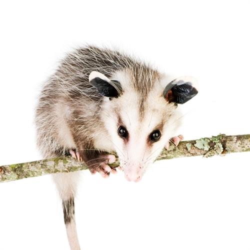 Opossum Meat