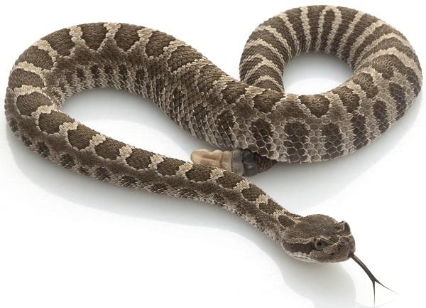 rattlesnake meat,rattlesnake meat for sale,snake meat for
