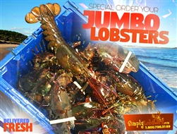 10LB Live Jumbo Lobsters