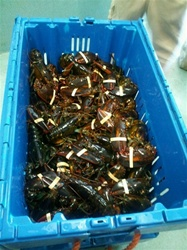 20 - 1.65 LB LOBSTER PACKAGE DEAL