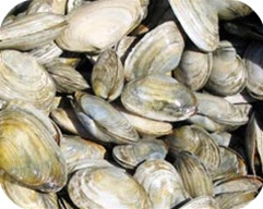 20 LBS of Steamer Clams