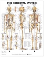 Skeletal System Laminated Chart