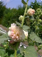 Hollyhock Chaters Salmon Pink