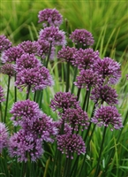 Allium 'Windy City' Ornamental Onion