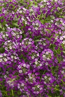Sweet Alyssum Lobularia hybrid Dark Knight&#0153