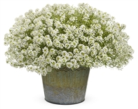 Alyssum Lobularia hybrid Frosty Knight&#0153