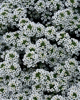 Alyssum Snow Princess® Lobularia hybrid