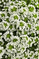Alyssum White Knight® Lobularia hybrid