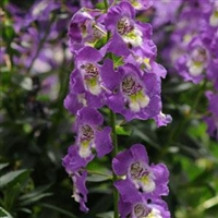 Angelonia Archangel Purple