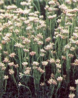 Antennaria dioica Pussytoes