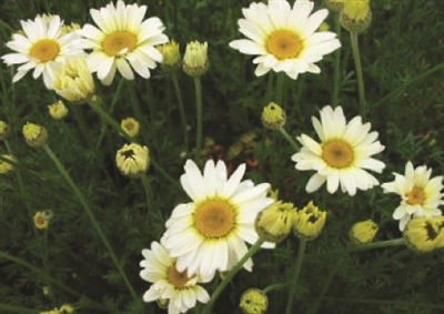 Anthemis Golden Marguerite Sauce Hollandaise