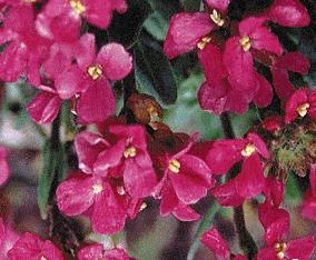 Rock Cress Red Sensation