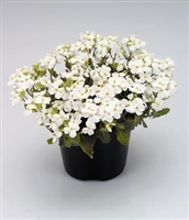 Rock Cress Snowfix