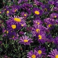 Aster Dark Beauty