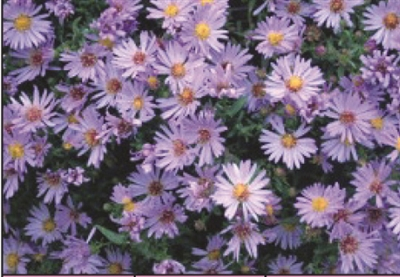 Aster dumosus Woods Light Blue