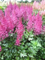 Astilbe Chinensis 'Maggie Daley'