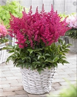 "Astilbe Youniqueâ""¢ Series 'Youniqueâ""¢ Ruby Red"