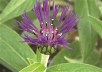 Bachelor Button Centaurea Montana