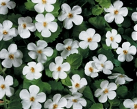 Bacopa Sutera Snowstorm® Giant Snowflake®