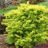 Barberry Sunjoy® Cinnamon Berberis thunbergii