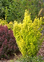 Barberry Sunjoy® Gold Pillar Berberis thunbergii