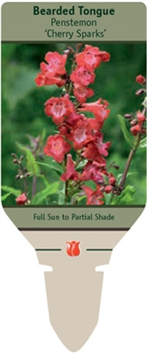 Bearded Tongue Penstemon 'Cherry Sparks'