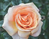 Beautiful Day Hybrid Tea Rose