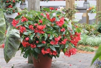 Begonia Angelwing Dragon Wing® Red
