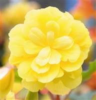Begonia Tuberous Illumination® Lemon