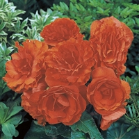 Begonia Tuberous Nonstop&#0153 Orange