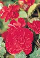 Begonia Tuberous Nonstop&#0153 Red