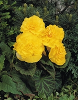 Begonia Tuberous Nonstop&#0153 Yellow