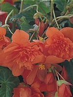 Begonia Tuberous Illumination® Orange