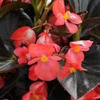 Begonia Whopper - Bronze Leaves, Red Flowers