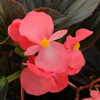 Begonia Whopper - Bronze Leaves, Rose Flowers