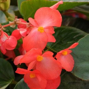 Begonia Whopper - Green Leaves, Red Flowers