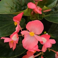 Begonia Whopper - Green Leaves, Rose Flowers