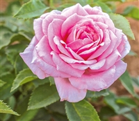 Belinda's Dream Floribunda Shrub Rose