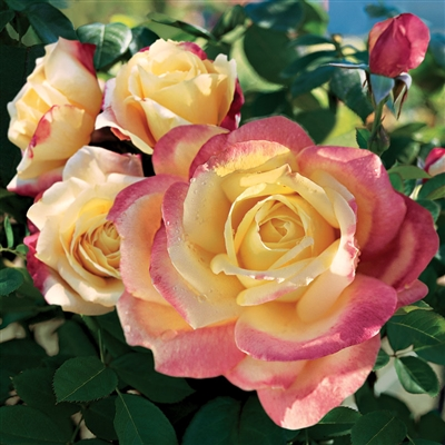 'Bella'roma' Hybrid Tea Rose