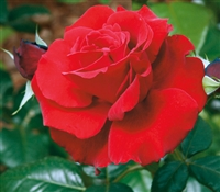 Beloved Hybrid Tea Rose