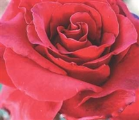 Black Magic® Hybrid Tea Rose
