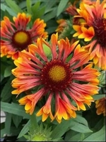 Blanket Flower Gaillardia aristata 'Spintop Copper Sun'